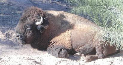 d a bufalo mexicali