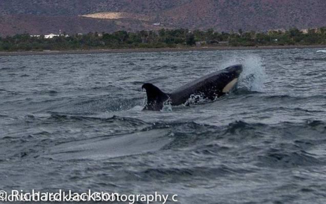d a ballena orca