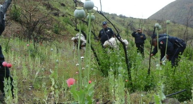 d a plantios de amapola en ensenada baja california