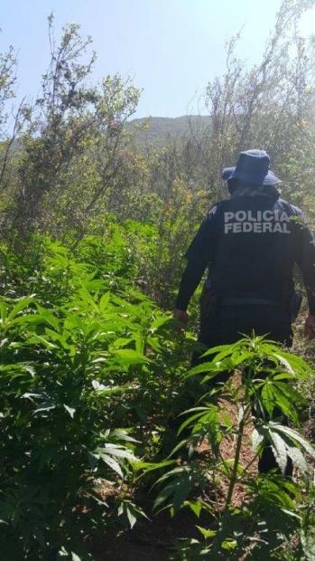 d a plantios de marihuana ensenada