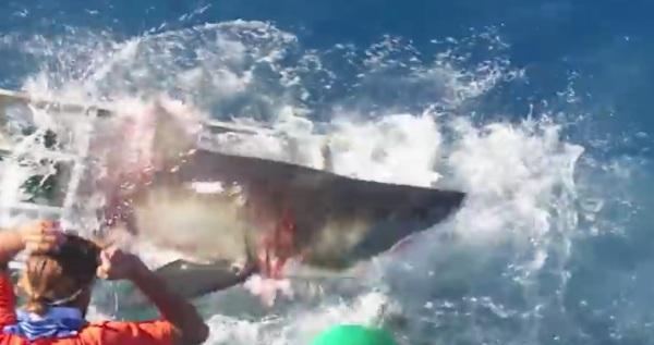 d-a-tiburon-blanco-ensenada