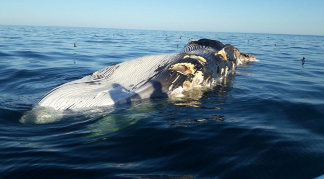 d-ballena-muerta-alto-golfo