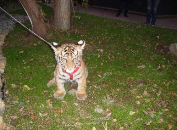 d-a-tigre-tijuana