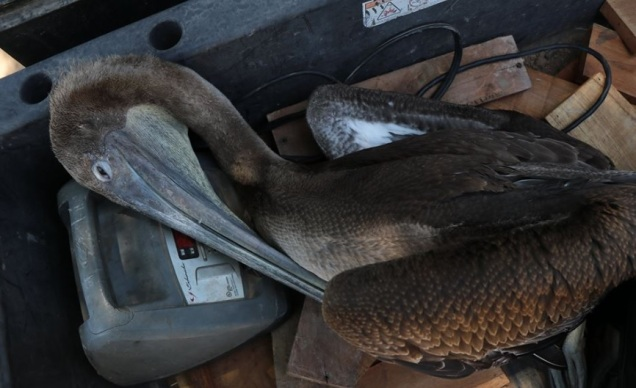d a a a a pelicanos en mexicali