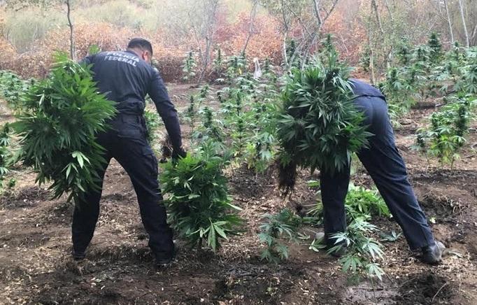 d a a a a a plantio de marihuana el sauzal