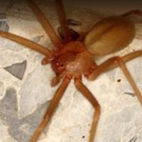 Baja California cuenta con ANTÍDOTO para veneno de araña violinista