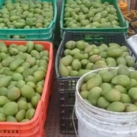 ¡En Los Cabos prefieren tirar los mangos a que la gente los consuma!